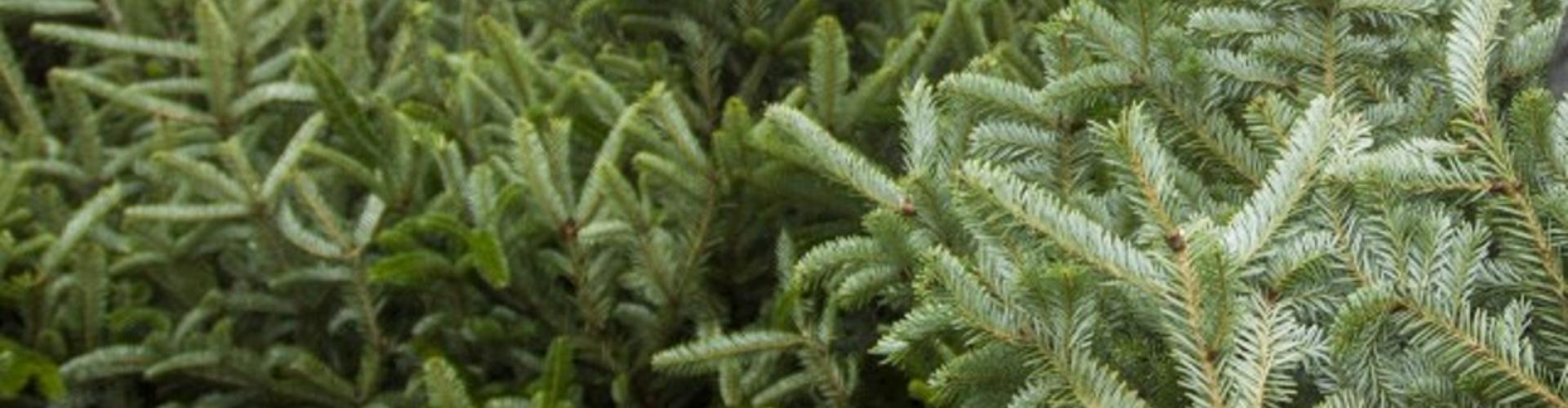 Kerstbomen verkoop voor het goede doel!